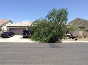 Monsoon mesquite tree