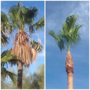 dead palm tree; tree removal and maintenance service in phoenix az